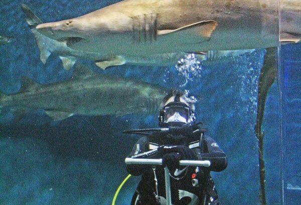Maritime Aquarium seeks volunteer divers to swim with its sharks